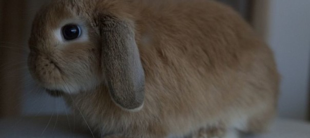 what breed of rabbit should i get