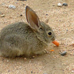 Sylvilagus rabbit