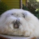 English angora breed