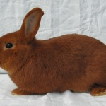 Czech red rabbit breed