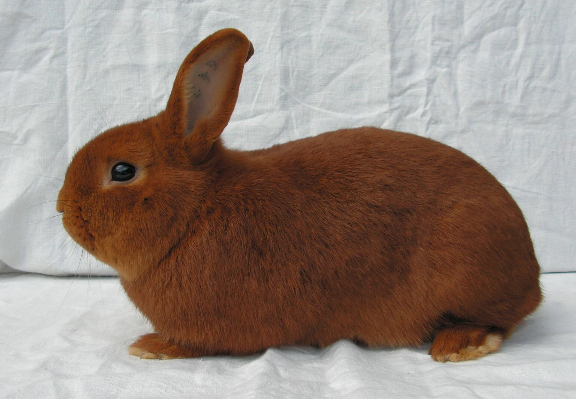 Rabbit Breeds: A Comprehensive List of Over 150 Varieties ...