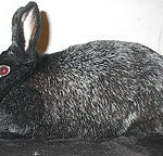silver fox rabbit breed