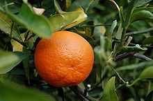 can rabbits eat tangerines