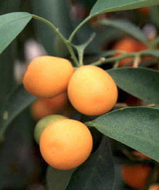 can rabbits eat kumquats