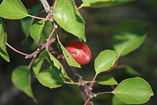 can rabbits eat apricot tree leaves and branches