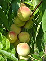 can rabbits eat peach tree branches