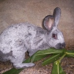 Argente champagne rabbit breed