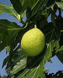 can rabbits eat breadfruit